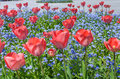 Red tulips field of in park Stock Images