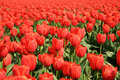 Red tulips - flower Royalty Free Stock Photography