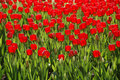 Red tulips on flower bed Stock Photo
