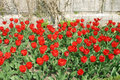 Red tulips in flower bed vivid tulip flowers a with a stone wall behind as background Stock Photos
