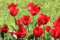 Red tulips, grass and dandelions