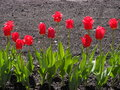 Red tulips оn the ground colourful with as background Royalty Free Stock Image