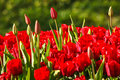 Red tulips growing Royalty Free Stock Photo