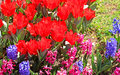 Red tulips and hyacinths in istanbul turkey the spring Royalty Free Stock Photo