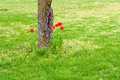 Red tulips in meadow near tree trunk Stock Photography