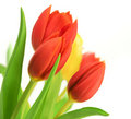 Red Tulips Over White