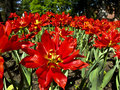 Red tulips in a park Royalty Free Stock Photography