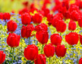 Red tulips parterre in spring Stock Photos