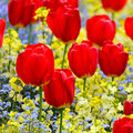 Red tulips parterre in spring Royalty Free Stock Image