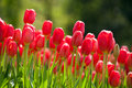 Red tulips in spring the blooming the Stock Photos