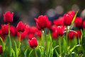 Red tulips in springtime Royalty Free Stock Photo