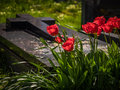 Red tulips and tomb Royalty Free Stock Photo