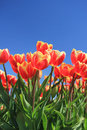Red tulips with a touch of yellow on a field Royalty Free Stock Photo