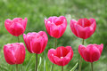 Red tulips tulip flowers blooming in the spring time Stock Photography