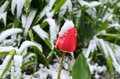 Red tulips under the snow