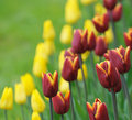 Red tulips, very shallow focus Royalty Free Stock Photo