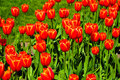 Red tulips in washington dc spring usa Stock Image