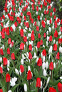 Red tulips, white crocuses and raindrops vertical Stock Image