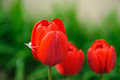 Red tulips with white spider Royalty Free Stock Photo