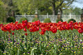 Red Tulips and Wild flowers Royalty Free Stock Photo