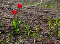 Red tulips in wildness two lonely growing a desolated area of gead grass and vegetation Stock Photography