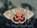 Red underwing sitting on window and looking out in autum Stock Images