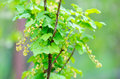 Red unripe currant Royalty Free Stock Photo