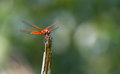Red veined darter dragonfly with green background Royalty Free Stock Photography