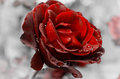 Red velvet rose Royalty Free Stock Photo