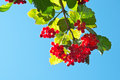 Red viburnum Stock Images