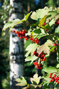 Red viburnum berries in the tree summer Royalty Free Stock Photos