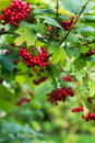Red viburnum bush fruits of opulus in autumn Royalty Free Stock Photos