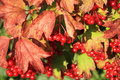 Red viburnum ripened collecting Royalty Free Stock Photos