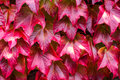 Red vine leaves in bright autumnal colors Royalty Free Stock Photo