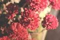 Red vintage Chrysanthemum flower in garden. Soft focus. Toned im
