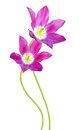 Red and violet tulip flowers Royalty Free Stock Photo
