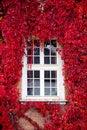 Red Virginia creeper around window Stock Photography