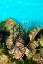 Red Volitan Lionfish Royalty Free Stock Image