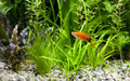 Red wag swordtail swimming in planted fish tank Royalty Free Stock Photo