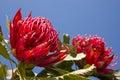 Red waratah flower Royalty Free Stock Photo