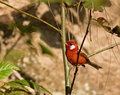 Red warbler a beautiful male perched in the sunlight in las minas mexico Stock Images