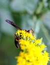 Red Wasp Royalty Free Stock Photo