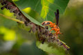 Red wasp preys on hairy caterpillars a striped congregated a leaf Stock Image