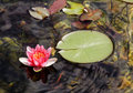 Red Water lily on edge of leaves Stock Photography