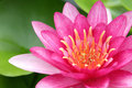 Red water lily with lotus leaf on pond Stock Images