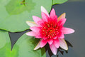 Red water lily in a pond Royalty Free Stock Image