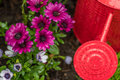 Red watering can closeup with purple daisies Royalty Free Stock Photo