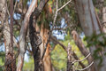 Red wattle bird honeyeater perching on tree on kangaroo island selective focus of at flinders chase national park south australia Stock Images