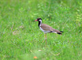 Red wattled lapwing Royalty Free Stock Photo