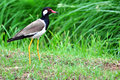 Red wattled lapwing beautiful vanellus indicus Stock Photo